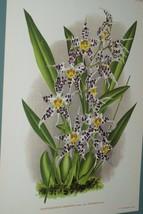 Lindenia Print Limited Edition Odontoglossum Cirrhosum Superbum Orchid W... - $14.24