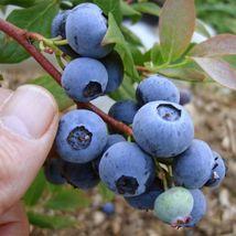 Gallon Pot - Chandler Blueberry Bush - Edible Berry - Hardy Perennial - 1 Plant - $100.99