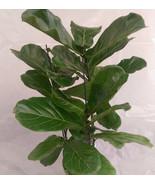 Fiddle Leaf Fig Tree aka Ficus Lyrata Foliage Live Plant  Fit 5 Gallon Pot - $35.63