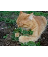 CATNIP GRASS SEEDS 20 Fresh seeds ready to plant in your garden or pots - $1.99