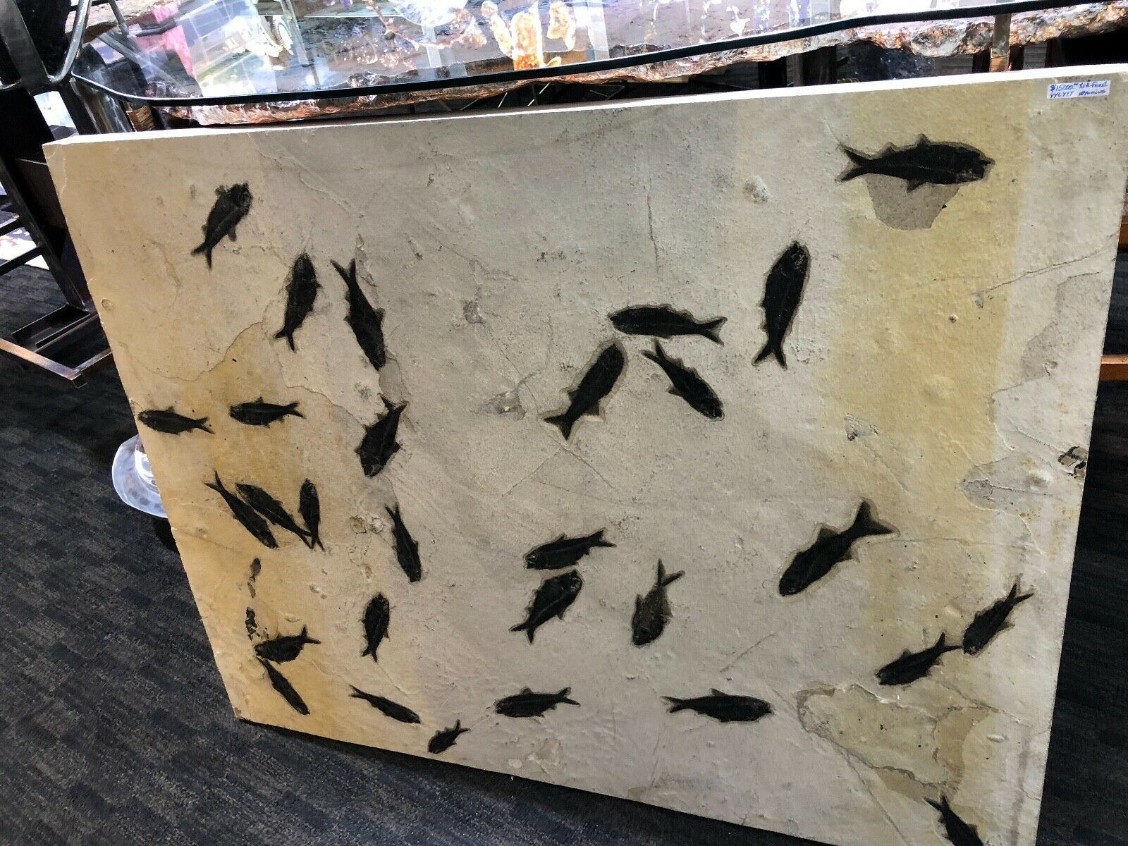FISH FOSSIL WALL DISPLAY HOME DECOR DINOSAUR FOSSIL PIRATE GOLD COINS JURASSIC