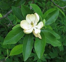 SWEETBAY MAGNOLIA qt. pot  Laurel Magnolia, Swamp Magnolia - (Magnolia virginian image 3