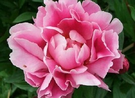 100+ Pink Peony / Long-Lasting Annual Flower Seeds – Outdoor Living - SBS - $33.95