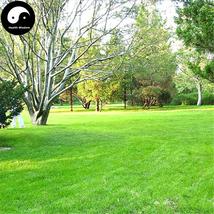 Buy Evergreen Low Cynodon Dactylon Grass Seeds 2000pcs Plant Lawn Grass ... - $15.99