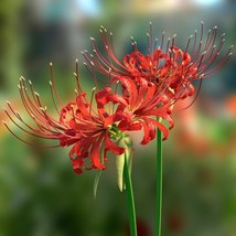 BEST DEAL - 2 Bulbs of LargeLycoris Red 'Radiata' Trio, Spider Lily Fall... - $19.99