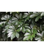 Umbrella Plant aka Schefflera Arboricola Foliage Live Plant Fit 5 Gallon... - $35.63