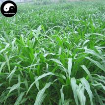 Buy Corngrass Seeds 1000pcs Plant Herb Corn Grass Purus Frumentum Forage... - $15.99