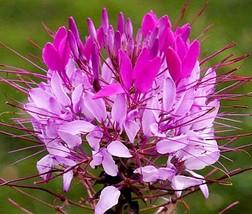 Cleome Mix Flower Seeds-20 Pcs - $4.99