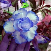 Adenium White Petals with Blue Edge Flower Seeds, 2 seeds, 4-layer rare - $4.20