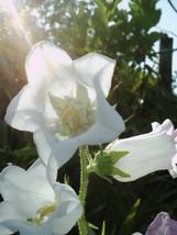 SHIPPED FROM US 400 White Canterbury Bells - Campanula Medium Flower Seeds, SB01 - $19.50