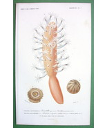 ZOOPHYTES Sea Anemone & Actinia - H/C Color Antique Print - $11.47