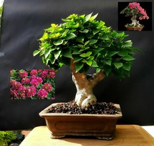 Bougainvillea SUNVILLEA ROSE Bonsai - Approximately 25 years old plant - $441.64