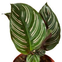 "Live Plant - Calathea 'Ornata' - 6"" Pot- Houseplant - Outdoor Living - Gardening - $70.99"