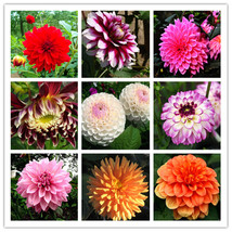 Tassel Type Romantic Pink Dahlia Flower Seeds Garden and Patio Potted Or... - $4.99