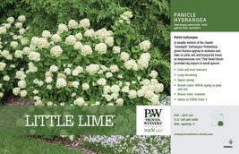 LITTLE LIME Hydrangea PP#22330 image 6