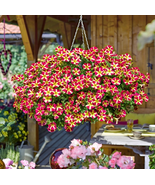 200pcs Very Exotic Petunia 'Amore Queen of Hearts' Flower Seeds IMA1 - $16.10