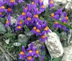 200 Bulk Seeds Alpine Toadflax Linaria Alpina, DIY Decorative Plant ov04 - $53.99