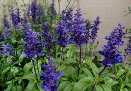 100 Seeds - Blue Sage - Salvia Farinacea - $8.99