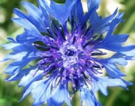 SHIPPED From US,PREMIUM SEED:150 Particles of Tall Blue, Hand-Packaged - $24.99