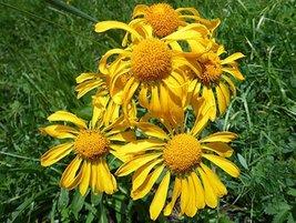 50 seeds Helenium hoopesii Sneezeweed - $7.99