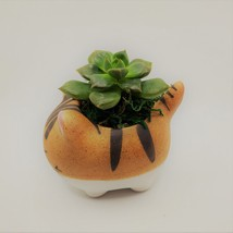 """Echeveria Succulents in Laughing Cat Planters, Live Plants in 2.5"""" Kitten Pots image 5"""