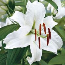 3 Oriental Lily Bulbs Casa Blanca,intensely fragrant. Perennial - $24.25