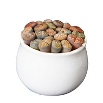 100 Lithops Pseudotruncatella Living Stone Rare Succulent Seeds DIY Home... - $4.77