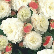 25 Seeds of Begonia Tuberous Nonstop Series Apple Blossom Annual  - $23.00