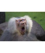 Gaping Baboon Monkey Portrait Wild Animal Poste... - $21.90