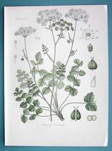 BURNET SAXIFRAGE MedicinalPimpinella Saxifraga - Beautiful COLOR Botanic... - $21.60