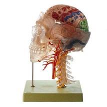 Neuroanatomy Head Model - $3,142.43