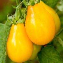 250 pcs of Yellow Pear Tomato seeds - $5.97