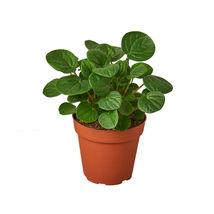 """Peperomia Rana Verde - 4"""" Pot - Houseplants - Home Graden - Outdoor Living - D11 - $33.99"""