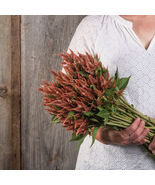 Celway Terracotta Celosia Seed /  Celosia Flower Seeds - $12.00