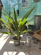 Cymbidium Spark Sprite 'Sparkey' Orchid Plant Blooming Size Warm Grower 0512 U image 2