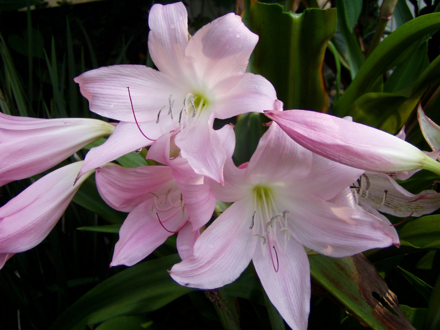 crinum powellii rosea powell lily cape lily and 50 similar items