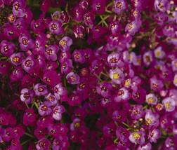 Alyssum Oriental Nights Lobularia Maritima 1,000 Bulk Seeds - $38.86