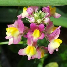 Non GMO Bulk Fairy Bouquet Flower Seeds Linaria maroccana (25 Lbs) - $1,138.45