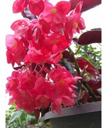 "Dragon Wing Begonia - Torch Red - 1 Live Plant - 4"" Pot - $32.99"