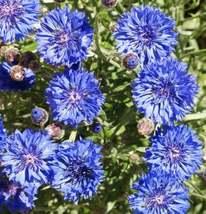Dwarf Blue Bachelor Button Seeds, 90 seeds - $9.00