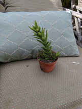 """aloe juvenna tigers tooth in 4"""" pot succulents - $9.89"""