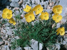 10 Papaver kerneri, Alpine poppy or dwarf poppy, - $8.95