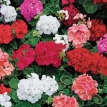 12 Fresh Seeds ~ Geranium Seeds Orbit Series Flower - $7.99
