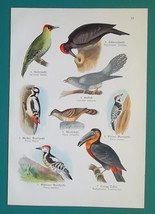 OUR BIRDS Woodpeckers Cuckoo Ara Parrrot Cockatoo - Charming COLOR Litho... - $16.65