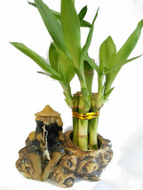 Plant Lucky Bamboo Fortune with Fishman Ceramic Pot Live Houseplant Indoor - $22.76