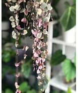 100pcs Ceropegia Woodii Seeds / String of Hearts / Hardy Vining Succulen... - $2.75