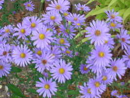 Organic Native Plant,  Smooth Blue Aster, Aster laevis, Pollinator Magnent! - $3.75