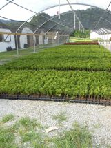 "Green Giant 12-18"" 4"" pot ArborvitaeThuja plicata image 6"