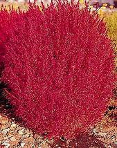 50 Seeds Burning Bush Seeds, Flowering Bush, Heirloom Seed, Bright Folia... - $13.99