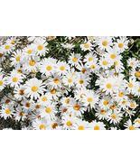 600 Seeds Daisy FlowerMIX 10 Species of Wildflower TkSmartbuy - $26.73